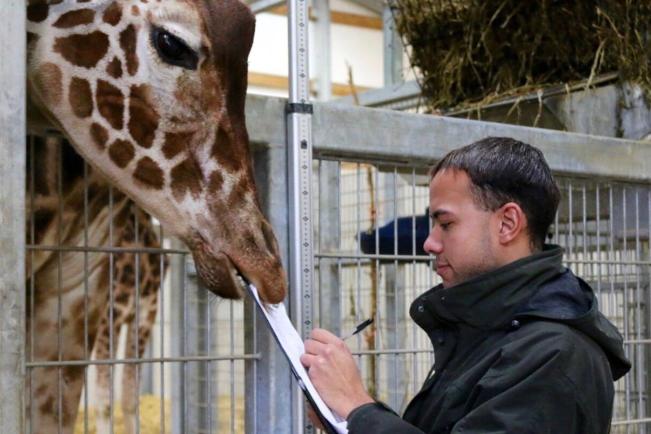YWP giraffe