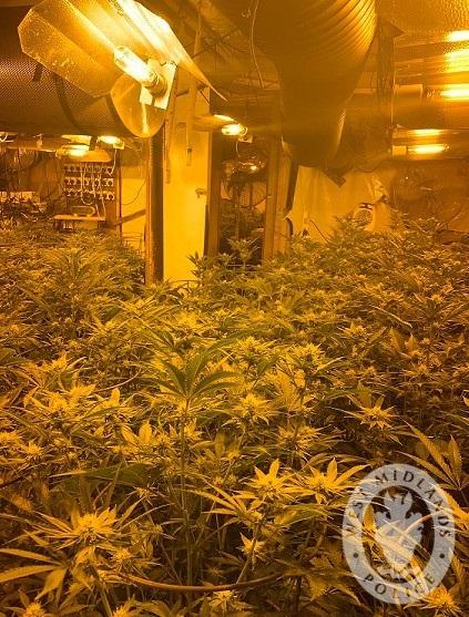 Cannabis plants Wolves