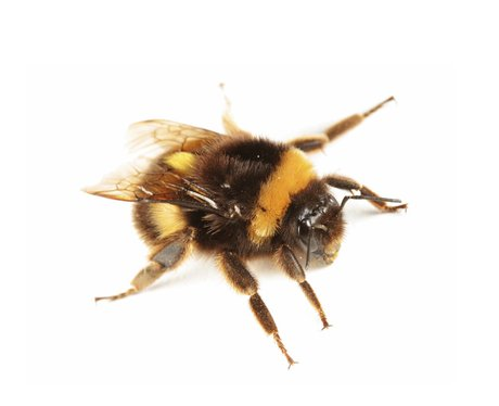 An English bumblebee.