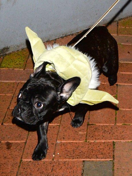 Lady Gaga's Dog dressed as Yoda