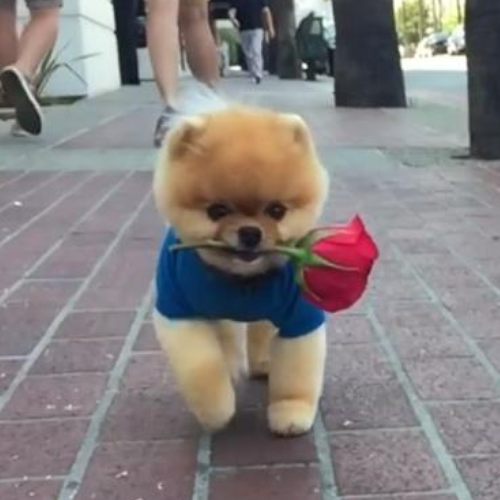 Valentine's Day Viral Video Jiff Pomeranian